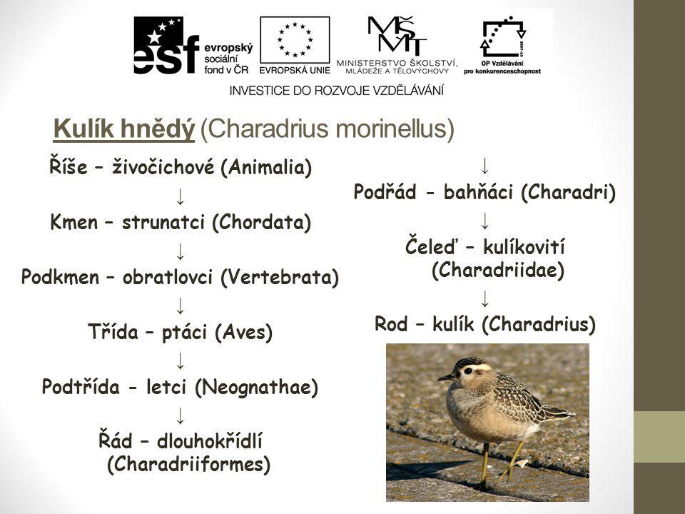 Kulík hnědý (Charadrius morinellus) Říše – živočichové (Animalia) ↓ Kmen – strunatci (Chordata) ↓ Podkmen – obratlovci (Vertebrata) ↓ Třída – ptáci (Aves) ↓ Podtřída - letci (Neognathae) ↓ Řád – dlouhokřídlí (Charadriiformes) ↓ Podřád - bahňáci (Charadri) ↓ Čeleď – kulíkovití (Charadriidae) ↓ Rod – kulík (Charadrius) ↓