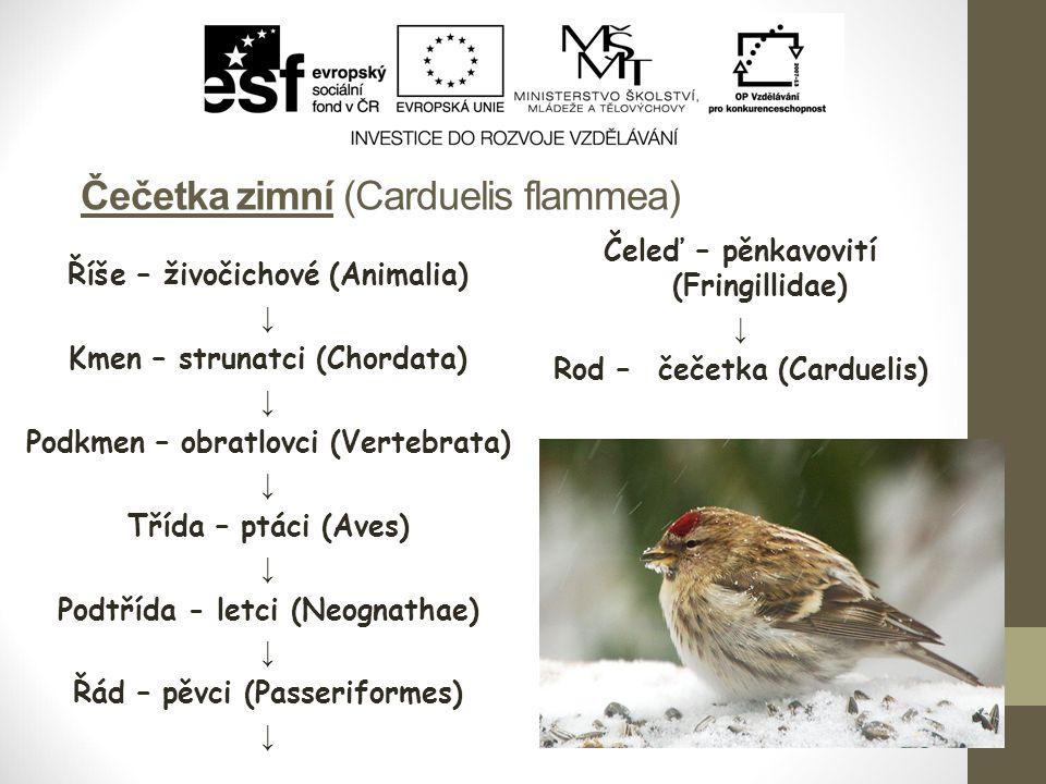 Čečetka zimní (Carduelis flammea) Říše – živočichové (Animalia) ↓ Kmen – strunatci (Chordata) ↓ Podkmen – obratlovci (Vertebrata) ↓ Třída – ptáci (Aves) ↓ Podtřída - letci (Neognathae) ↓ Řád – pěvci (Passeriformes) ↓ Čeleď – pěnkavovití (Fringillidae) ↓ Rod – čečetka (Carduelis)