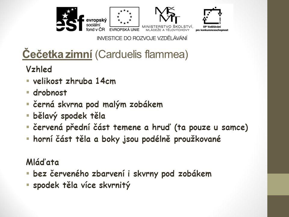 Čečetka zimní (Carduelis flammea) Vzhled  velikost zhruba 14cm  drobnost  černá skvrna pod malým zobákem  bělavý spodek těla  červená přední část temene a hruď (ta pouze u samce)  horní část těla a boky jsou podélně proužkované Mláďata  bez červeného zbarvení i skvrny pod zobákem  spodek těla více skvrnitý