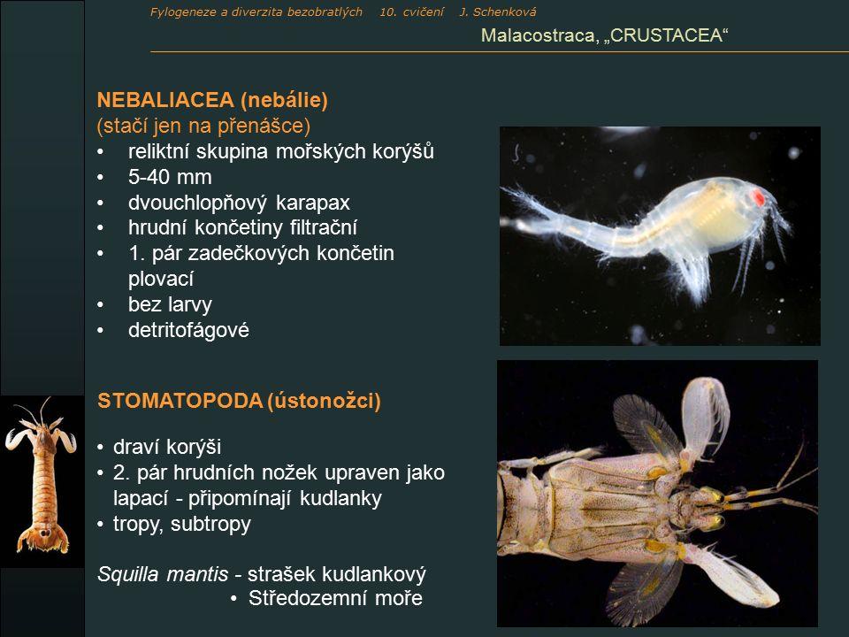 NEBALIACEA (nebálie) (stačí jen na přenášce) reliktní skupina mořských korýšů 5-40 mm dvouchlopňový karapax hrudní končetiny filtrační 1.