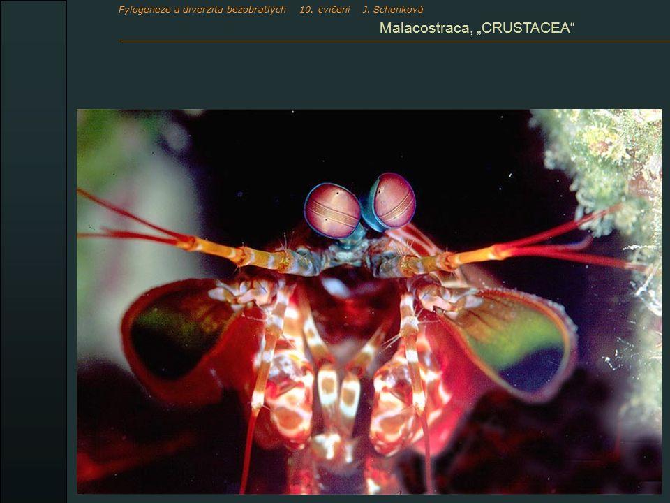 """Malacostraca, """"CRUSTACEA Fylogeneze a diverzita bezobratlých 10. cvičení J. Schenková"""
