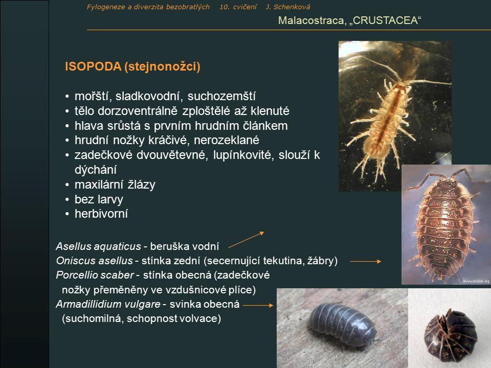 """ISOPODA (stejnonožci) mořští, sladkovodní, suchozemští tělo dorzoventrálně zploštělé až klenuté hlava srůstá s prvním hrudním článkem hrudní nožky kráčivé, nerozeklané zadečkové dvouvětevné, lupínkovité, slouží k dýchání maxilární žlázy bez larvy herbivorní Asellus aquaticus - beruška vodní Oniscus asellus - stínka zední (secernující tekutina, žábry) Porcellio scaber - stínka obecná (zadečkové nožky přeměněny ve vzdušnicové plíce) Armadillidium vulgare - svinka obecná (suchomilná, schopnost volvace) Malacostraca, """"CRUSTACEA Fylogeneze a diverzita bezobratlých 10."""
