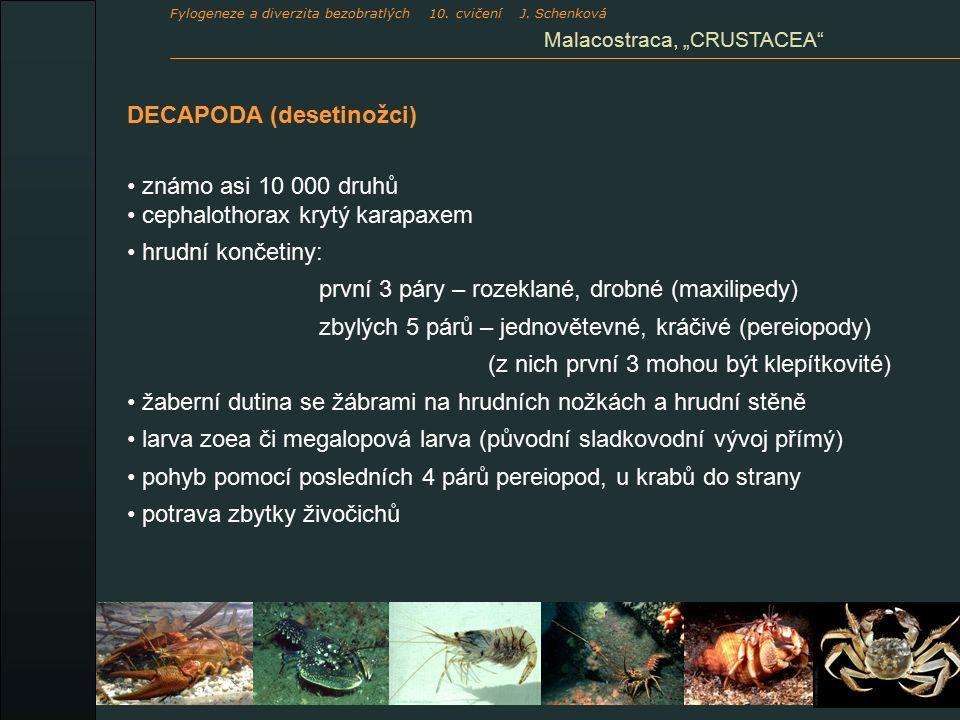 """DECAPODA (desetinožci) známo asi 10 000 druhů cephalothorax krytý karapaxem hrudní končetiny: první 3 páry – rozeklané, drobné (maxilipedy) zbylých 5 párů – jednovětevné, kráčivé (pereiopody) (z nich první 3 mohou být klepítkovité) žaberní dutina se žábrami na hrudních nožkách a hrudní stěně larva zoea či megalopová larva (původní sladkovodní vývoj přímý) pohyb pomocí posledních 4 párů pereiopod, u krabů do strany potrava zbytky živočichů Malacostraca, """"CRUSTACEA Fylogeneze a diverzita bezobratlých 10."""