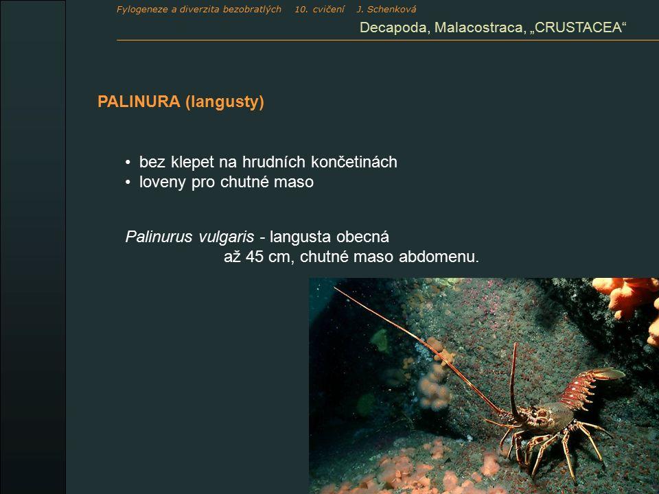 """PALINURA (langusty) Decapoda, Malacostraca, """"CRUSTACEA bez klepet na hrudních končetinách loveny pro chutné maso Palinurus vulgaris - langusta obecná až 45 cm, chutné maso abdomenu."""