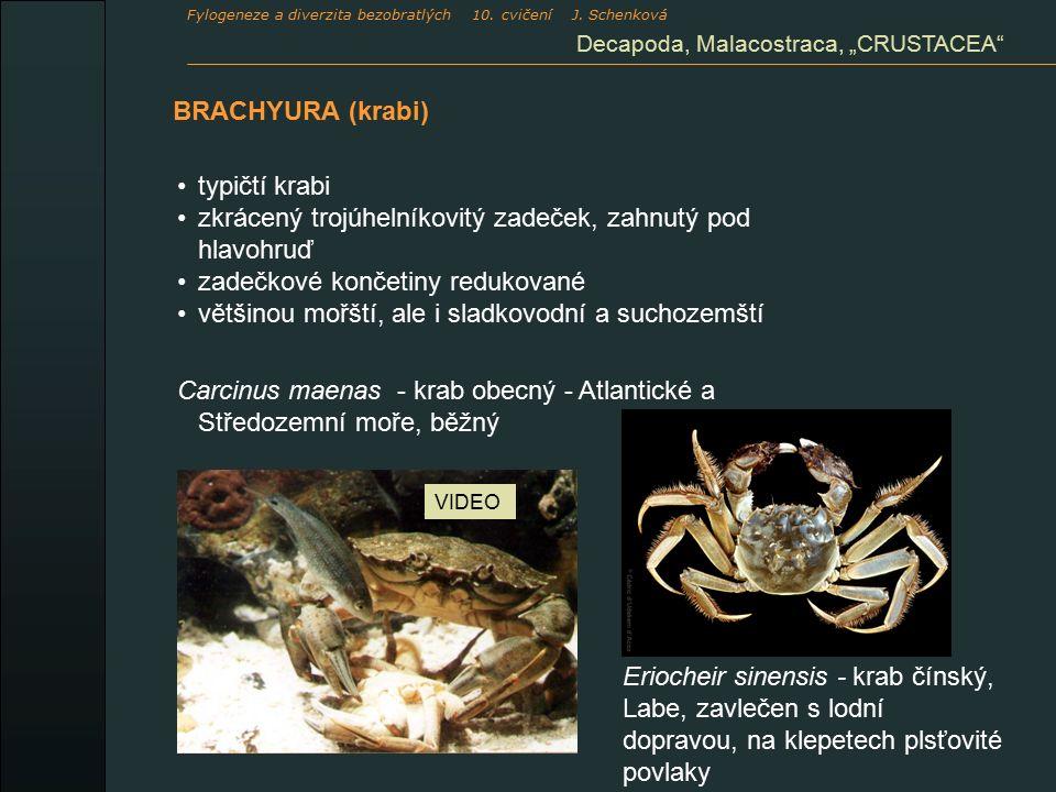 """BRACHYURA (krabi) Decapoda, Malacostraca, """"CRUSTACEA typičtí krabi zkrácený trojúhelníkovitý zadeček, zahnutý pod hlavohruď zadečkové končetiny redukované většinou mořští, ale i sladkovodní a suchozemští Carcinus maenas - krab obecný - Atlantické a Středozemní moře, běžný VIDEO Fylogeneze a diverzita bezobratlých 10."""