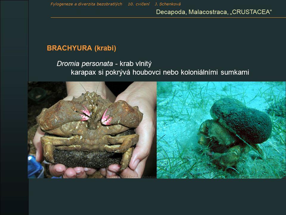"BRACHYURA (krabi) Decapoda, Malacostraca, ""CRUSTACEA"" Dromia personata - krab vlnitý karapax si pokrývá houbovci nebo koloniálními sumkami Fylogeneze"