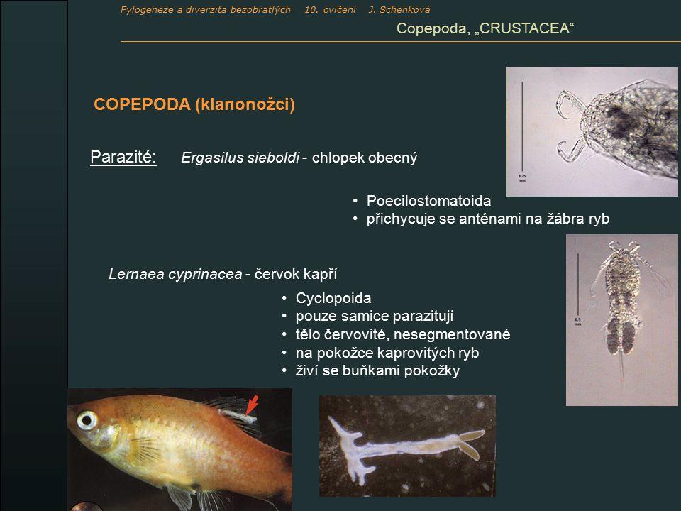 """Cyclopoida pouze samice parazitují tělo červovité, nesegmentované na pokožce kaprovitých ryb živí se buňkami pokožky Parazité: COPEPODA (klanonožci) Ergasilus sieboldi - chlopek obecný Poecilostomatoida přichycuje se anténami na žábra ryb Lernaea cyprinacea - červok kapří Copepoda, """"CRUSTACEA Fylogeneze a diverzita bezobratlých 10."""