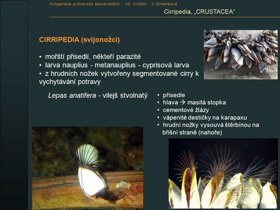 CIRRIPEDIA (svijonožci) mořští přisedlí, někteří parazité larva nauplius - metanauplius - cyprisová larva z hrudních nožek vytvořeny segmentované cirr