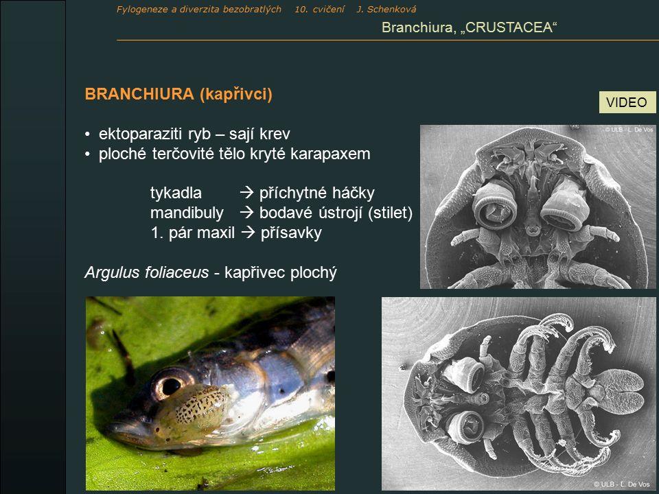 BRANCHIURA (kapřivci) ektoparaziti ryb – sají krev ploché terčovité tělo kryté karapaxem tykadla  příchytné háčky mandibuly  bodavé ústrojí (stilet) 1.