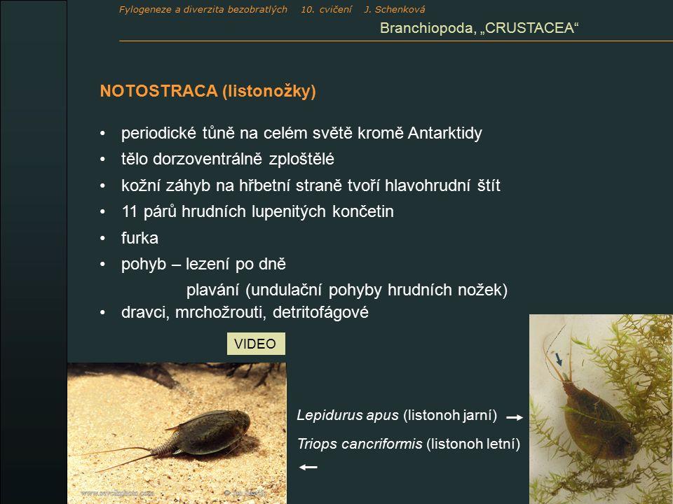 """NOTOSTRACA (listonožky) periodické tůně na celém světě kromě Antarktidy tělo dorzoventrálně zploštělé kožní záhyb na hřbetní straně tvoří hlavohrudní štít 11 párů hrudních lupenitých končetin furka pohyb – lezení po dně plavání (undulační pohyby hrudních nožek) dravci, mrchožrouti, detritofágové Lepidurus apus (listonoh jarní) Triops cancriformis (listonoh letní) VIDEO Branchiopoda, """"CRUSTACEA Fylogeneze a diverzita bezobratlých 10."""