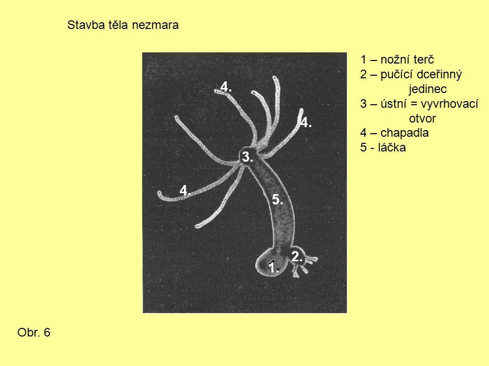 Stavba těla nezmara 1 – nožní terč 2 – pučící dceřinný jedinec 3 – ústní = vyvrhovací otvor 4 – chapadla 5 - láčka Obr.