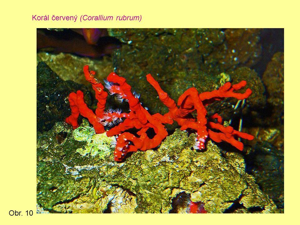 Korál červený (Corallium rubrum) Obr. 10