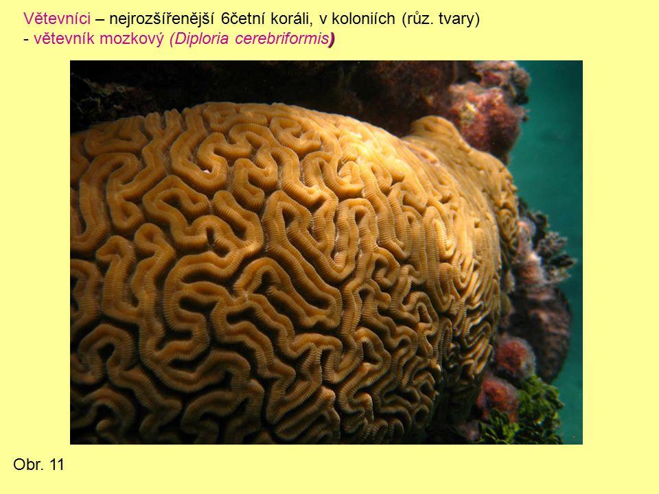 Větevníci – nejrozšířenější 6četní koráli, v koloniích (růz.