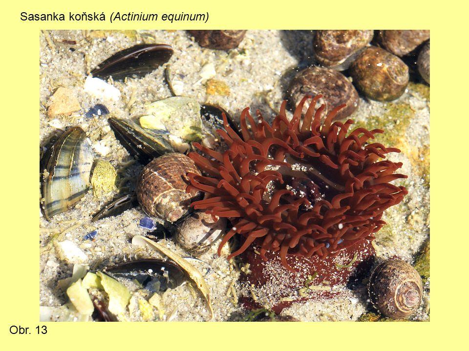Sasanka koňská (Actinium equinum) Obr. 13