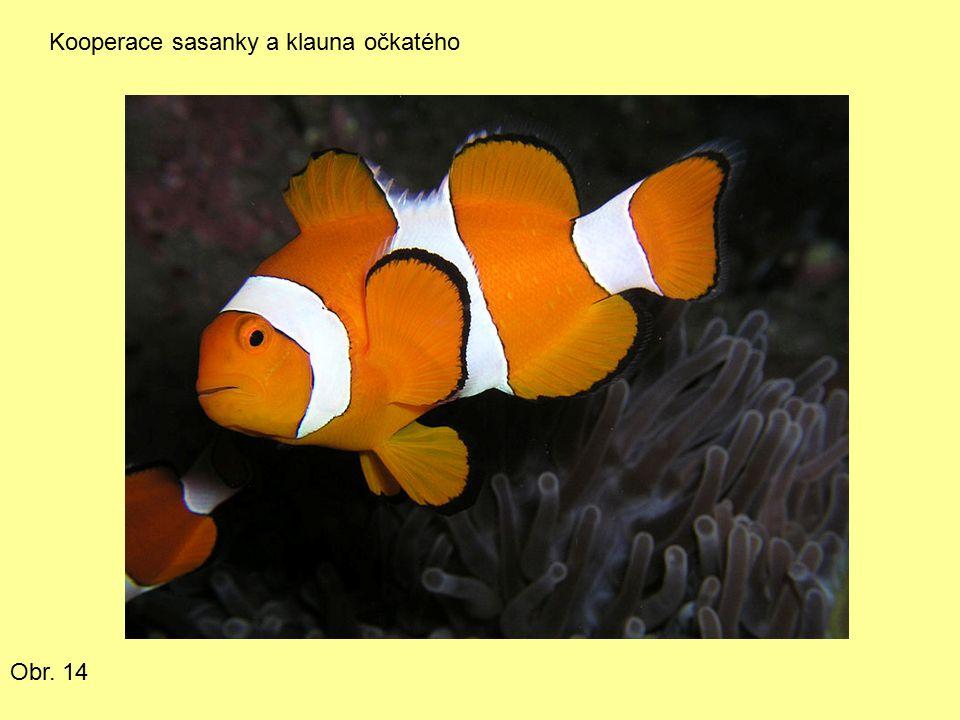 Kooperace sasanky a klauna očkatého Obr. 14