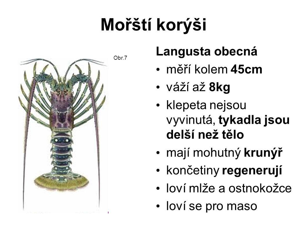 Mořští korýši Langusta obecná měří kolem 45cm váží až 8kg klepeta nejsou vyvinutá, tykadla jsou delší než tělo mají mohutný krunýř končetiny regenerují loví mlže a ostnokožce loví se pro maso Obr.7