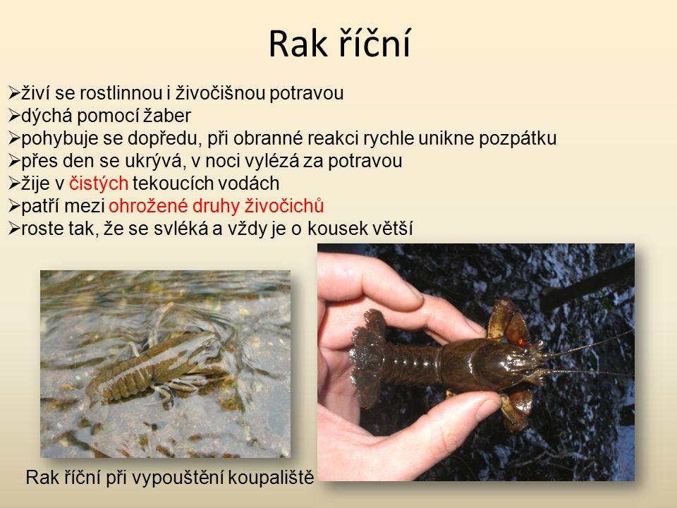 Rak říční  živí se rostlinnou i živočišnou potravou  dýchá pomocí žaber  pohybuje se dopředu, při obranné reakci rychle unikne pozpátku  přes den se ukrývá, v noci vylézá za potravou  žije v čistých tekoucích vodách  patří mezi ohrožené druhy živočichů  roste tak, že se svléká a vždy je o kousek větší Rak říční při vypouštění koupaliště