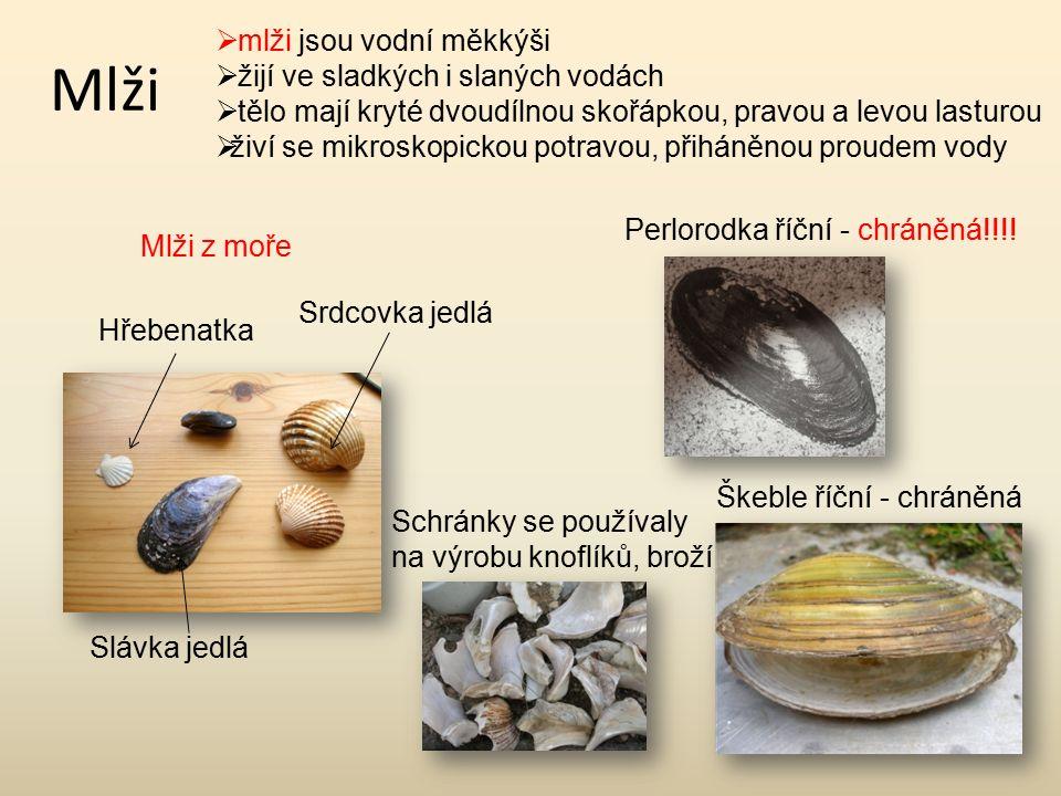 Mlži  mlži jsou vodní měkkýši  žijí ve sladkých i slaných vodách  tělo mají kryté dvoudílnou skořápkou, pravou a levou lasturou  živí se mikroskopickou potravou, přiháněnou proudem vody Srdcovka jedlá Slávka jedlá Hřebenatka Škeble říční - chráněná Perlorodka říční - chráněná!!!.