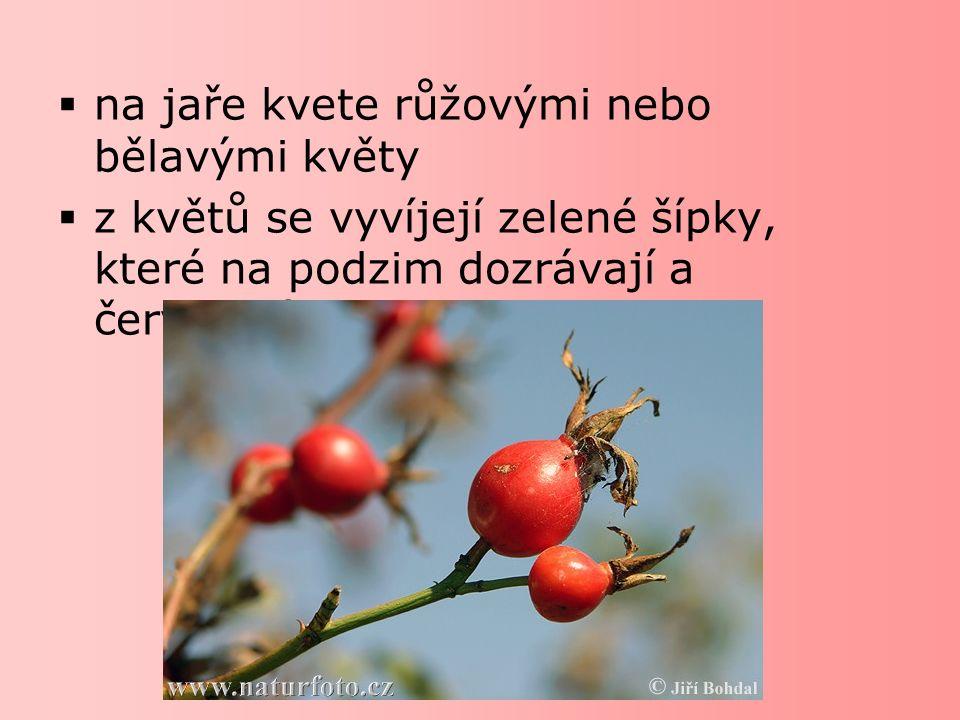  vyzrálé šípky se na podzim sbírají  uvnitř dužnatého šípku jsou chlupaté plody  plody obsahují velké množství vitamínu C  šípek je léčivá rostlina  z plodů se připravují čaje, sirupy a marmelády