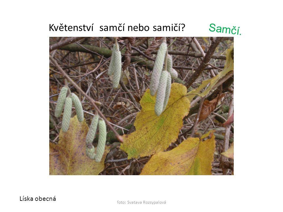 foto: Svatava Rozsypalová Líska obecná Květenství samčí nebo samičí? Samčí.