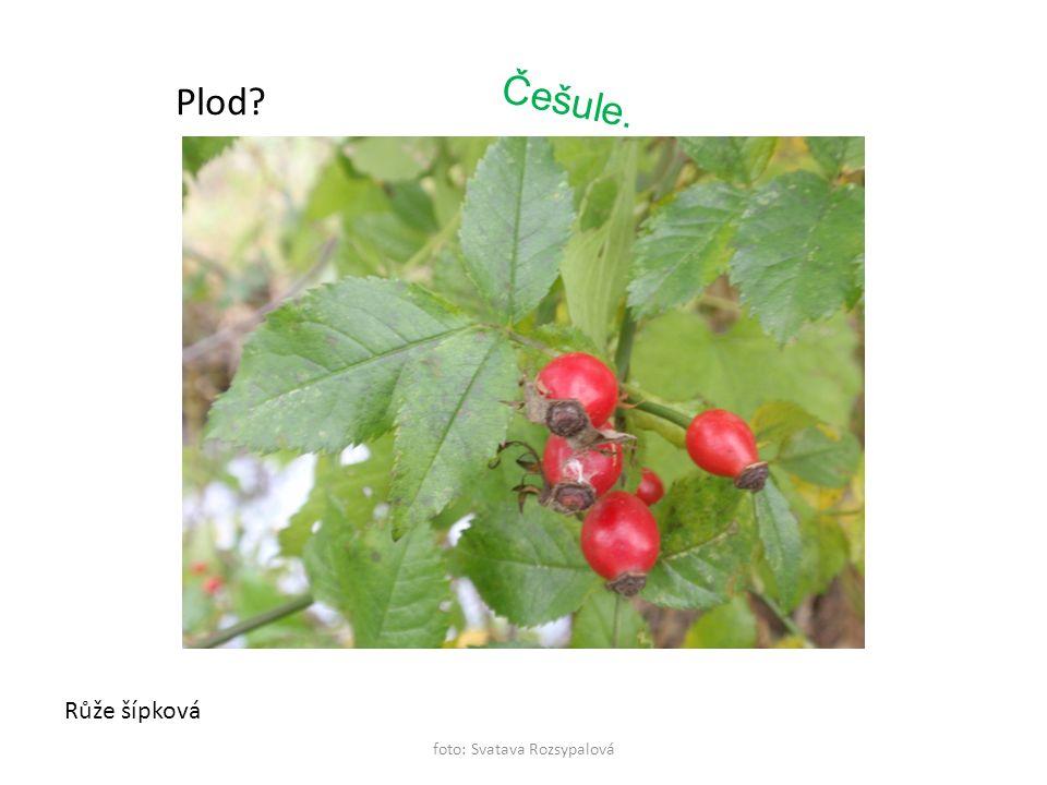foto: Svatava Rozsypalová Růže šípková Plod? Češule.