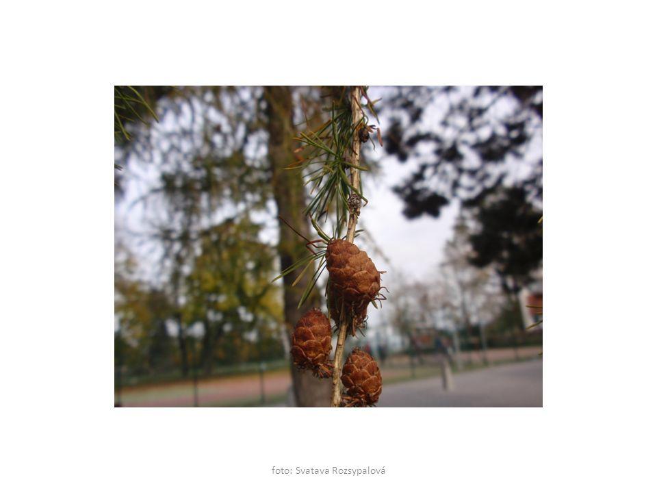 foto: Svatava Rozsypalová Buk lesní Popiš pupeny. Dlouhé, špičaté.