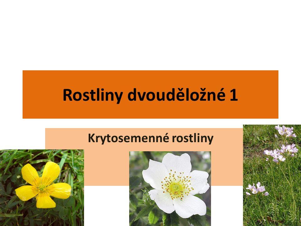 Rostliny dvouděložné 1 Krytosemenné rostliny