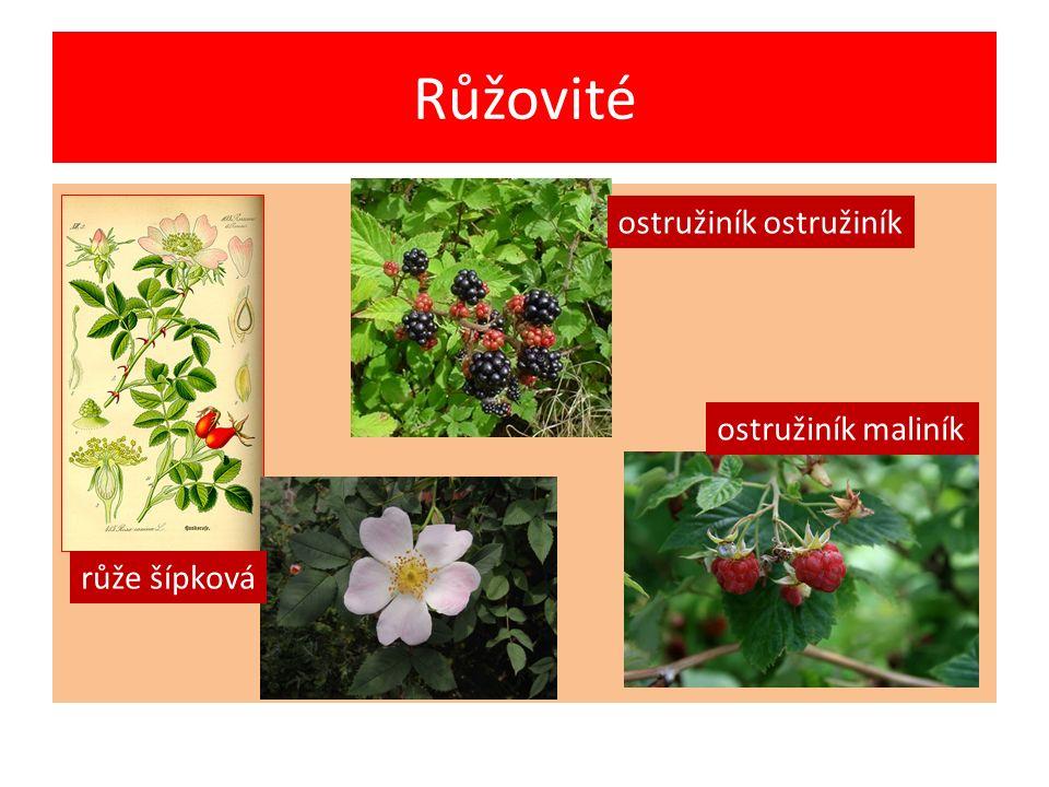 Růžovité růže šípková ostružiník maliník ostružiník ostružiník