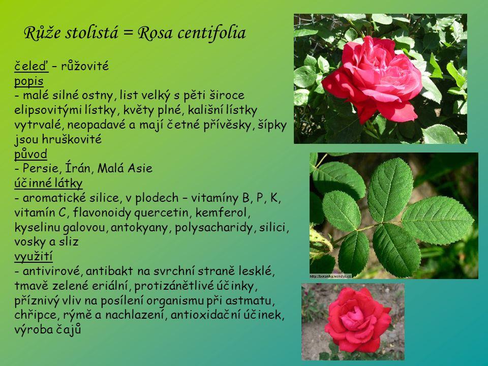 čeleď – růžovité popis - malé silné ostny, list velký s pěti široce elipsovitými lístky, květy plné, kališní lístky vytrvalé, neopadavé a mají četné přívěsky, šípky jsou hruškovité původ - Persie, Írán, Malá Asie účinné látky - aromatické silice, v plodech – vitamíny B, P, K, vitamín C, flavonoidy quercetin, kemferol, kyselinu galovou, antokyany, polysacharidy, silici, vosky a sliz využití - antivirové, antibakt na svrchní straně lesklé, tmavě zelené eriální, protizánětlivé účinky, příznivý vliv na posílení organismu při astmatu, chřipce, rýmě a nachlazení, antioxidační účinek, výroba čajů Růže stolistá = Rosa centifolia