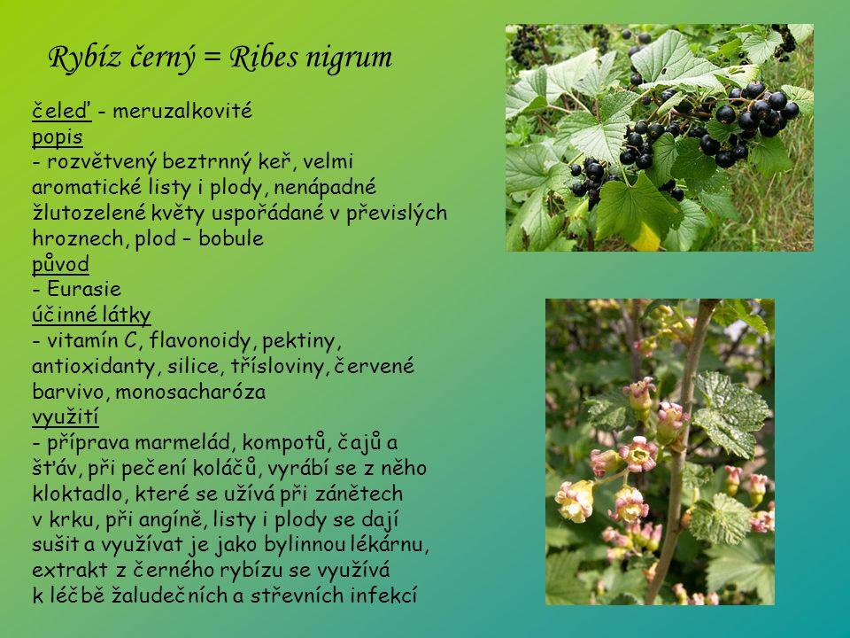 čeleď - meruzalkovité popis - rozvětvený beztrnný keř, velmi aromatické listy i plody, nenápadné žlutozelené květy uspořádané v převislých hroznech, plod – bobule původ - Eurasie účinné látky - vitamín C, flavonoidy, pektiny, antioxidanty, silice, třísloviny, červené barvivo, monosacharóza využití - příprava marmelád, kompotů, čajů a šťáv, při pečení koláčů, vyrábí se z něho kloktadlo, které se užívá při zánětech v krku, při angíně, listy i plody se dají sušit a využívat je jako bylinnou lékárnu, extrakt z černého rybízu se využívá k léčbě žaludečních a střevních infekcí Rybíz černý = Ribes nigrum