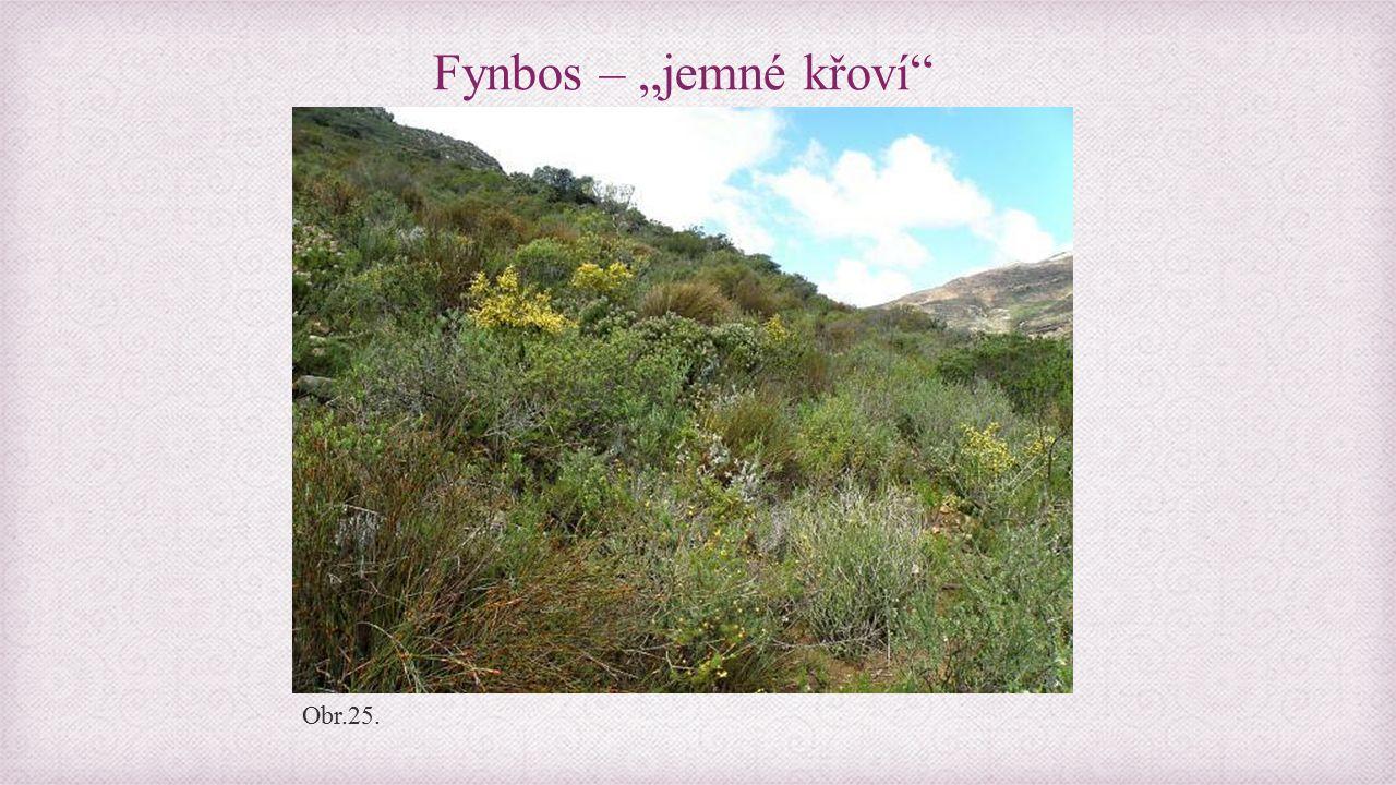 """Fynbos – """"jemné křoví Obr.25."""