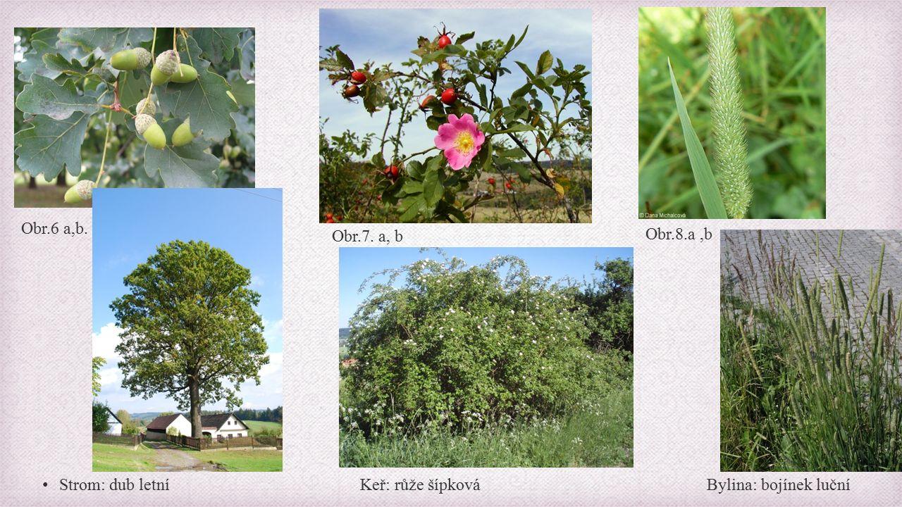 Strom: dub letní Keř: růže šípková Bylina: bojínek luční Obr.6 a,b. Obr.7. a, b Obr.8.a,b
