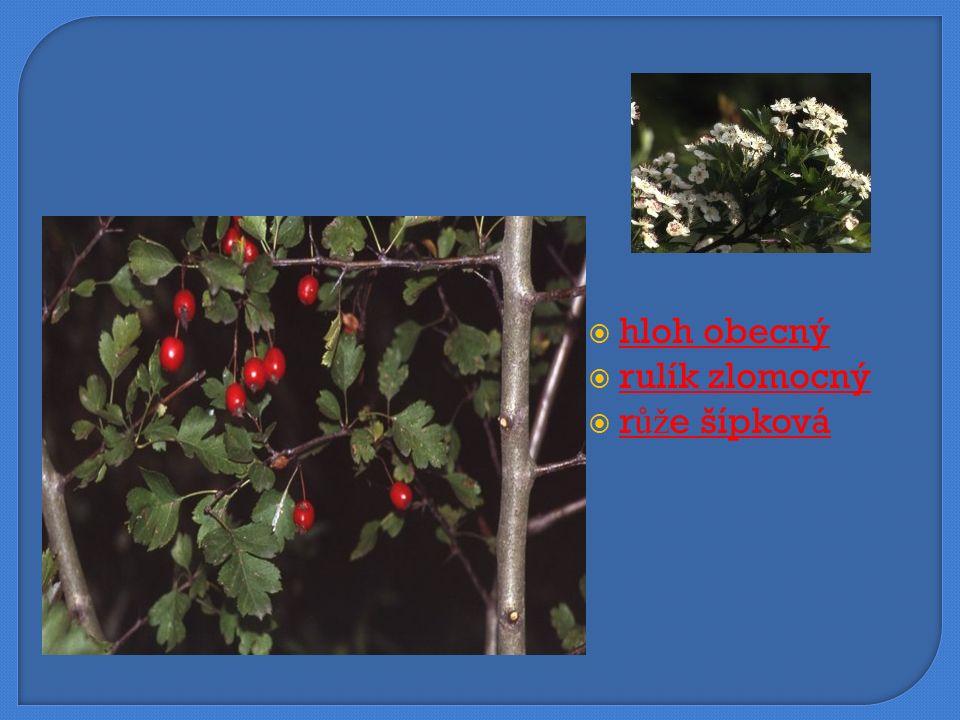  brusnice borůvka brusnice borůvka  vřes obecný vřes obecný  mateřídouška obecná mateřídouška obecná