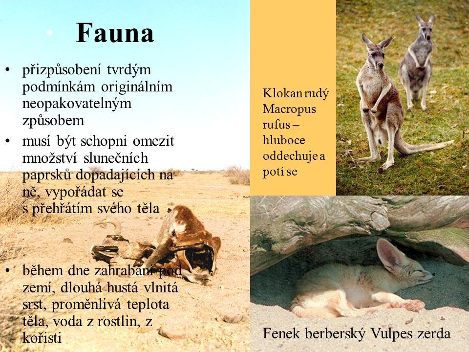 Fauna přizpůsobení tvrdým podmínkám originálním neopakovatelným způsobem musí být schopni omezit množství slunečních paprsků dopadajících na ně, vypořádat se s přehřátím svého těla během dne zahrabáni pod zemí, dlouhá hustá vlnitá srst, proměnlivá teplota těla, voda z rostlin, z kořisti Fenek berberský Vulpes zerda Klokan rudý Macropus rufus – hluboce oddechuje a potí se