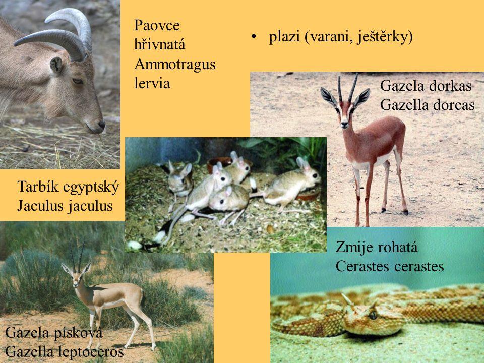 plazi (varani, ještěrky) Gazela písková Gazella leptoceros Gazela dorkas Gazella dorcas Tarbík egyptský Jaculus jaculus Zmije rohatá Cerastes cerastes