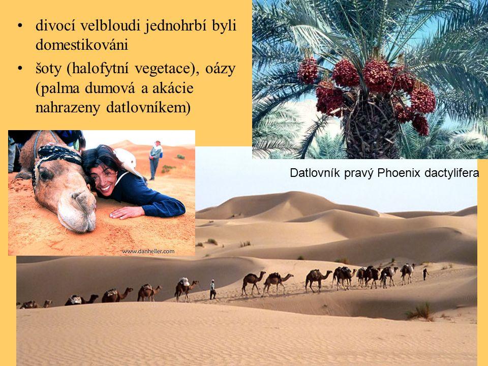 divocí velbloudi jednohrbí byli domestikováni šoty (halofytní vegetace), oázy (palma dumová a akácie nahrazeny datlovníkem) Datlovník pravý Phoenix dactylifera