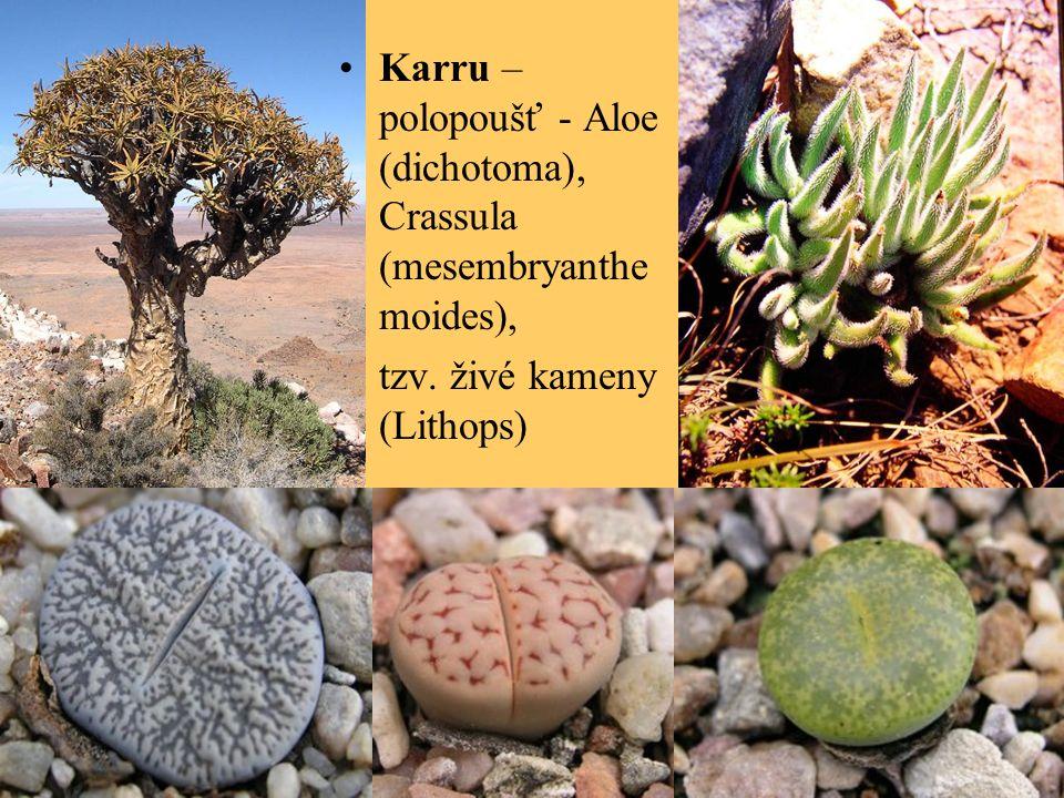 Karru – polopoušť - Aloe (dichotoma), Crassula (mesembryanthe moides), tzv. živé kameny (Lithops)