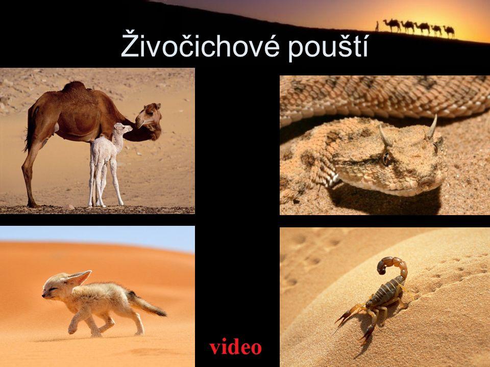 Živočichové pouští