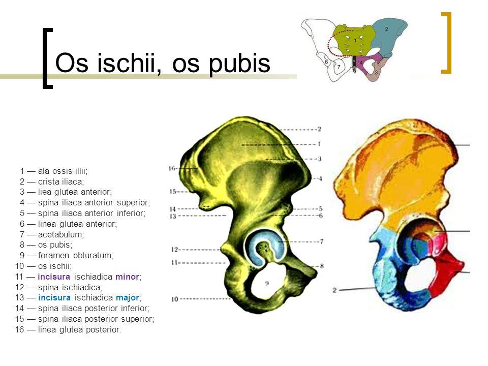 Os ischii, os pubis 1 — ala ossis illii; 2 — crista iliaca; 3 — liea glutea anterior; 4 — spina iliaca anterior superior; 5 — spina iliaca anterior inferior; 6 — linea glutea anterior; 7 — acetabulum; 8 — os pubis; 9 — foramen obturatum; 10 — os ischii; 11 — incisura ischiadica minor; 12 — spina ischiadica; 13 — incisura ischiadica major; 14 — spina iliaca posterior inferior; 15 — spina iliaca posterior superior; 16 — linea glutea posterior.