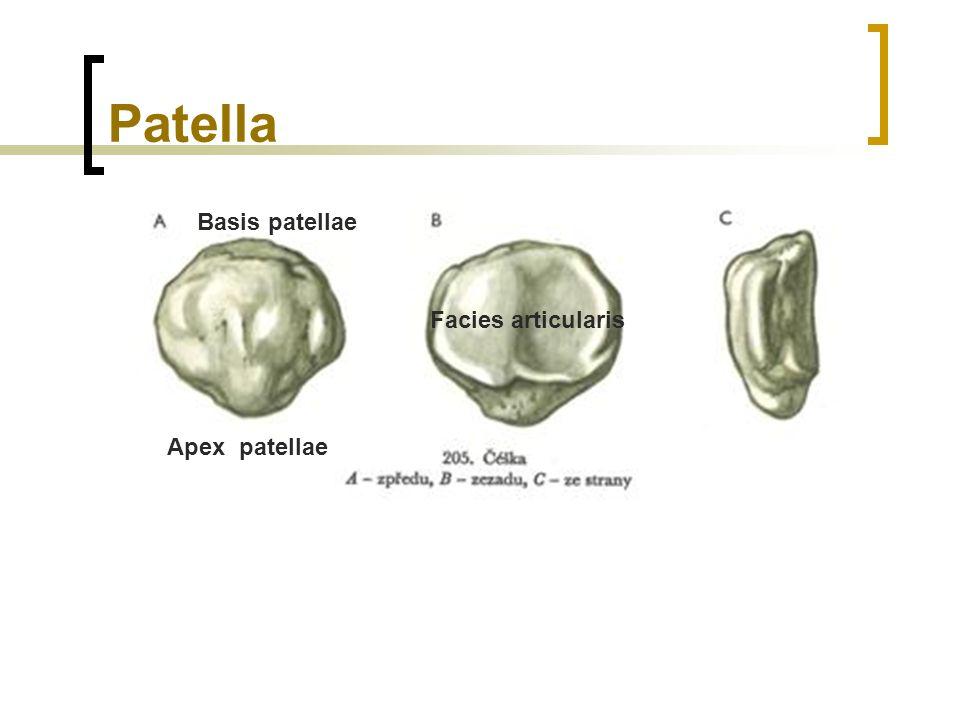 Patella Basis patellae Apex patellae Facies articularis