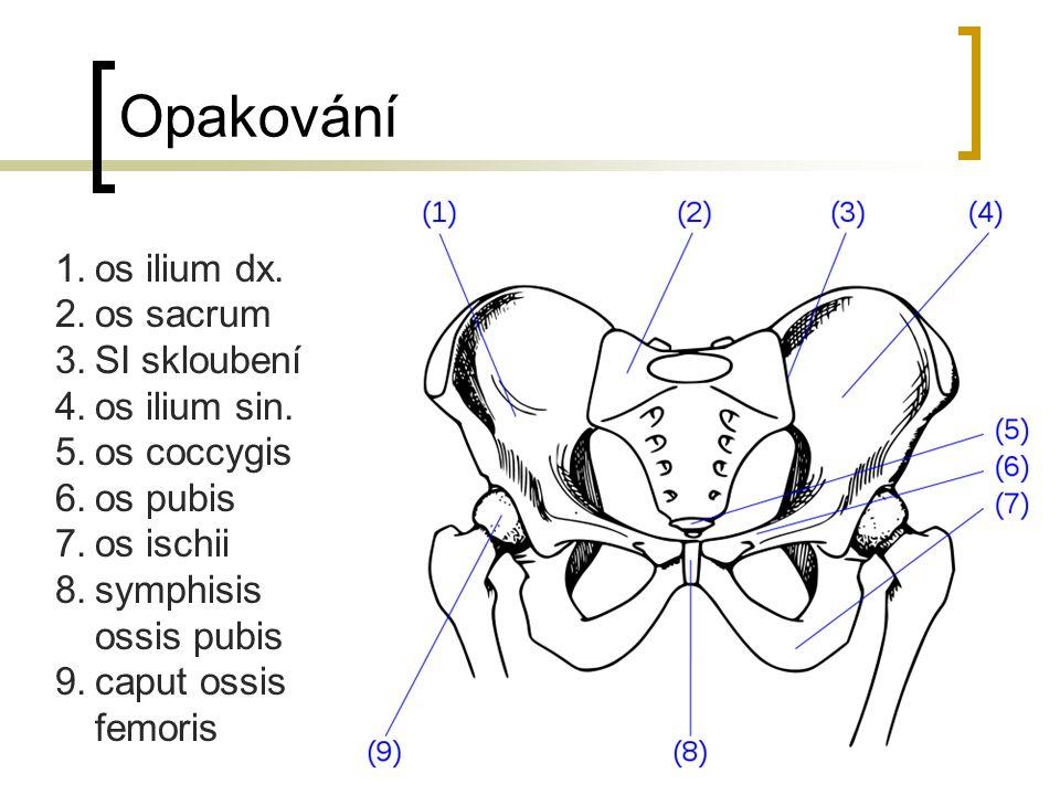 Opakování 1.os ilium dx. 2.os sacrum 3.SI skloubení 4.os ilium sin. 5.os coccygis 6.os pubis 7.os ischii 8.symphisis ossis pubis 9.caput ossis femoris