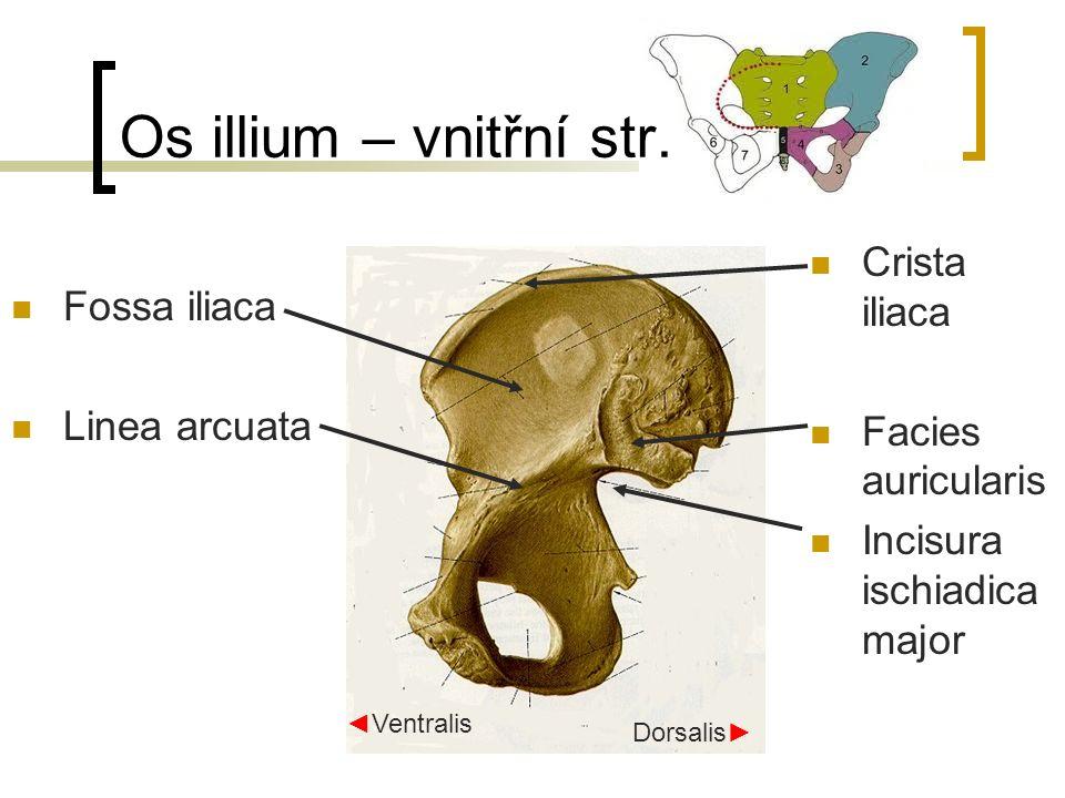 Zevní pánevní rozměry distantia bispinalis –26 cm distantia bicristalis – 29 cm distantia bitrochanterica – 31 cm conjugata externa – horní okraj symfysy k trnu L5, 18-20 cm