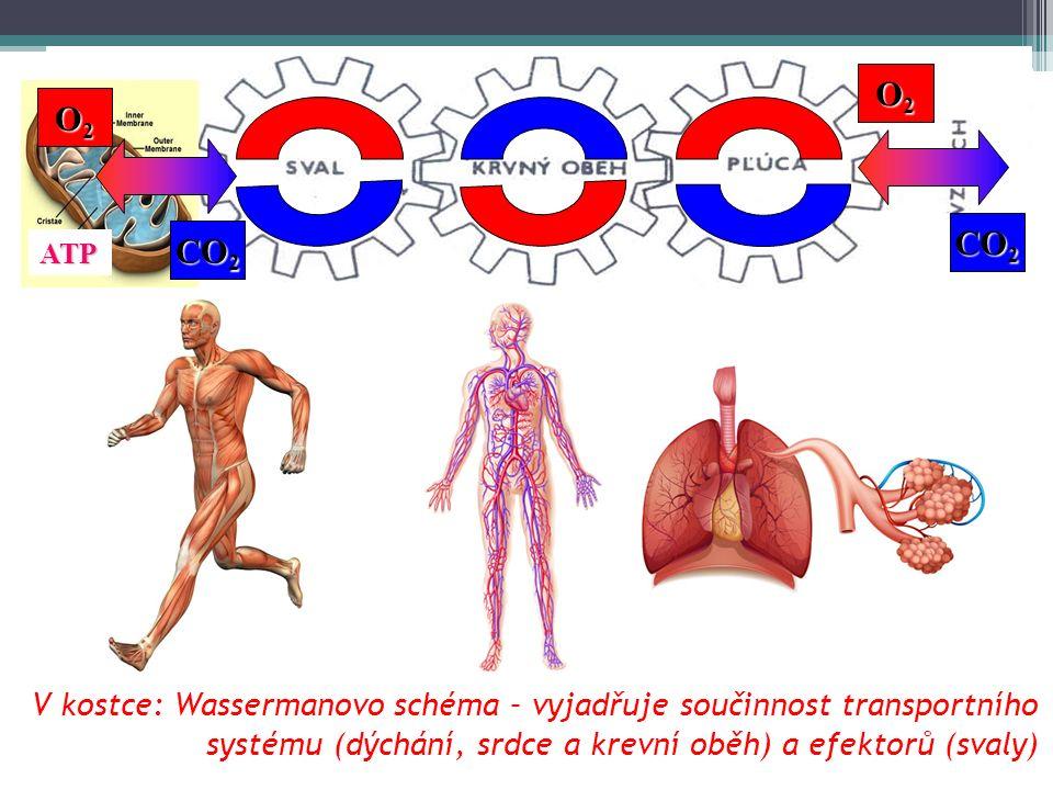 V kostce: Wassermanovo schéma – vyjadřuje součinnost transportního systému (dýchání, srdce a krevní oběh) a efektorů (svaly) ATP O2O2O2O2 O2O2O2O2 CO