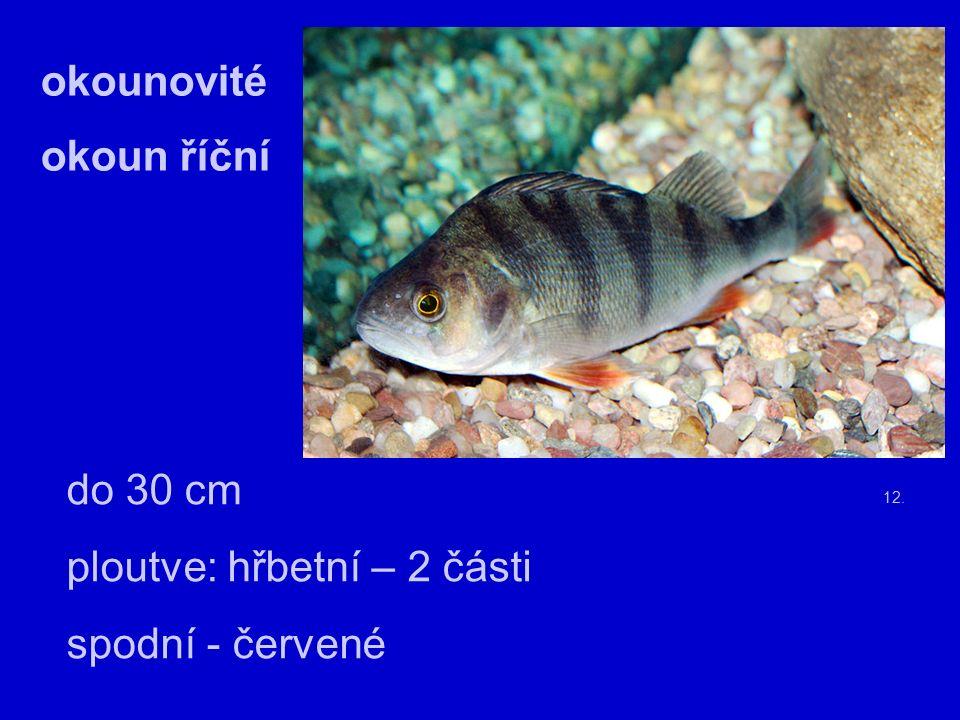 13. candát obecný – dorůstá do 130 cm chutné maso (lov od 45 – 50 cm)