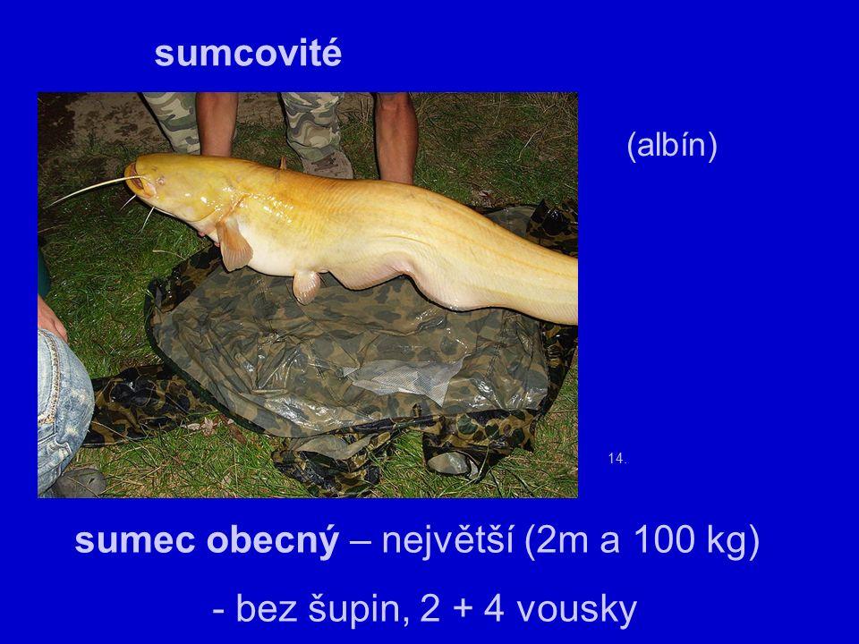 14. sumcovité sumec obecný – největší (2m a 100 kg) - bez šupin, 2 + 4 vousky (albín)