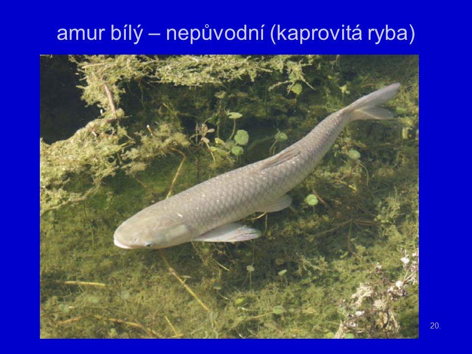 20. amur bílý – nepůvodní (kaprovitá ryba)