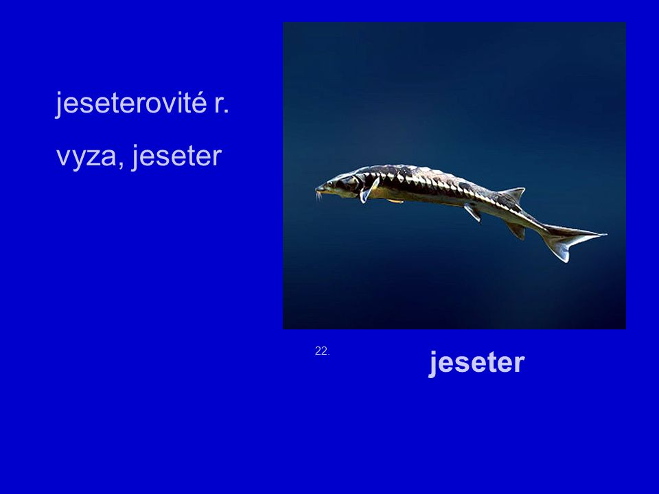 22. jeseterovité r. vyza, jeseter jeseter