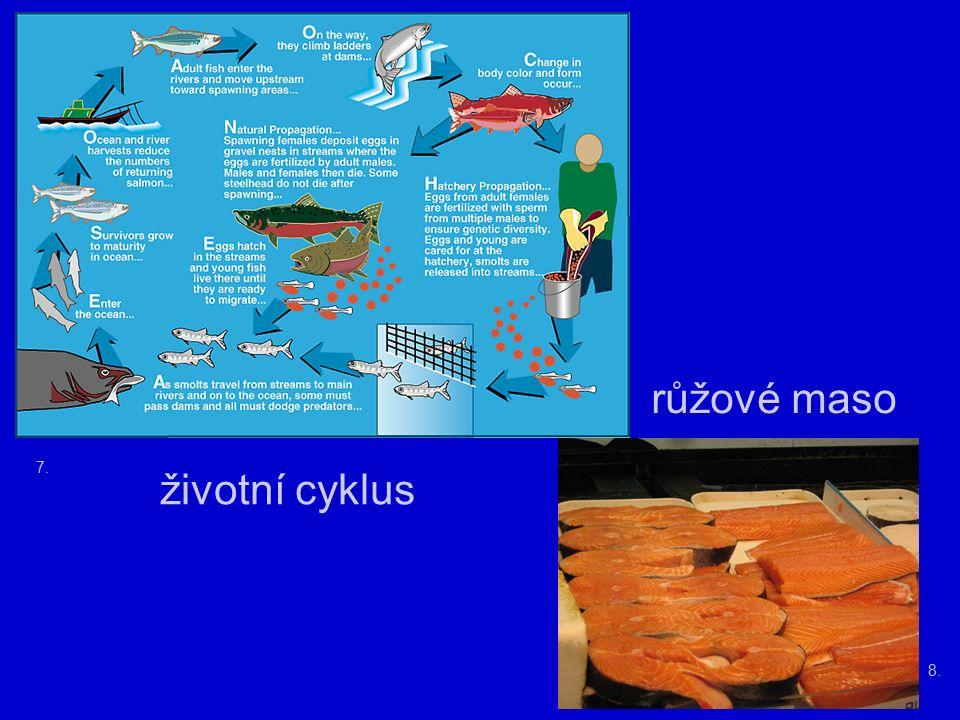 7. 8. růžové maso životní cyklus