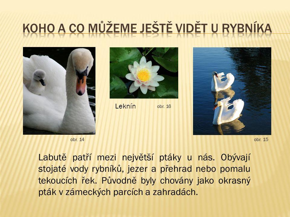 Labutě patří mezi největší ptáky u nás. Obývají stojaté vody rybníků, jezer a přehrad nebo pomalu tekoucích řek. Původně byly chovány jako okrasný ptá