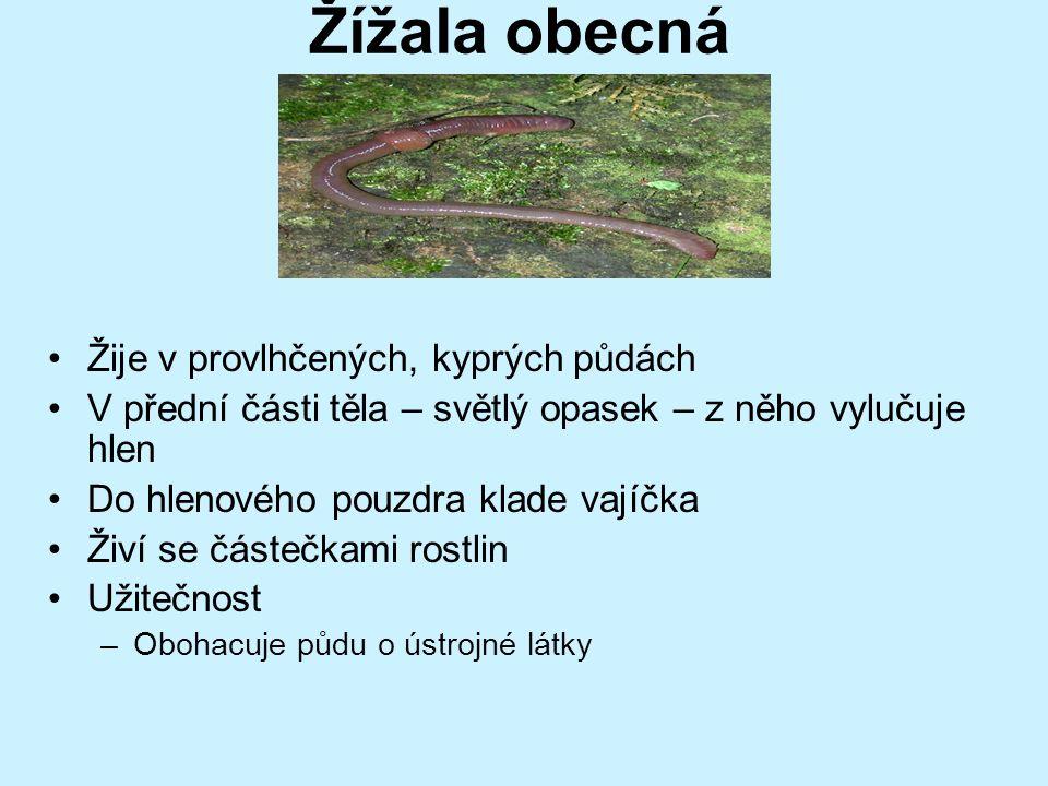 Nitěnky Žijí v bahnitém dnu rybníků a řek Tenké červeně zbarvené tělo Dlouhé asi 30 mm Jsou výborným krmivem pro akvarijní ryby